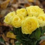 types of rose, rose pic, love rose pic